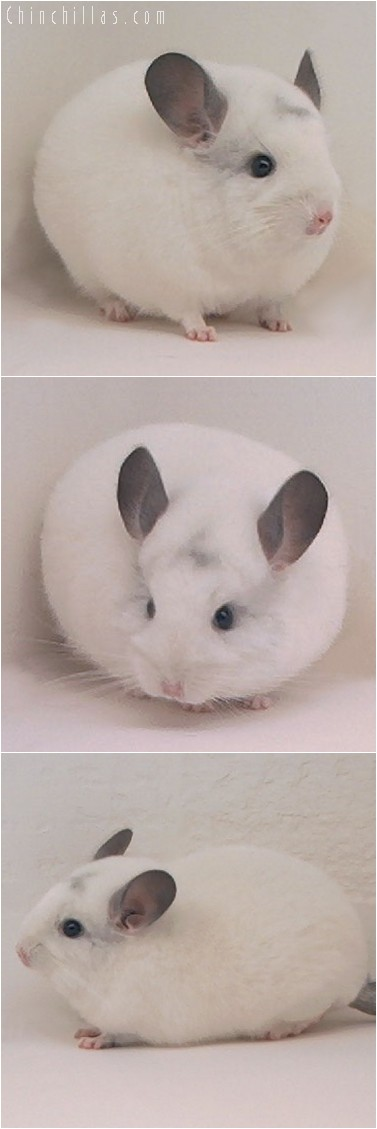 4146 Show Quality White Female Chinchilla
