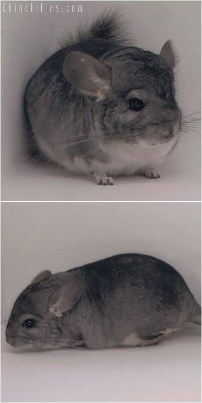 4141 Show Quality Standard ( Sapphire Carrier ) Male Chinchilla