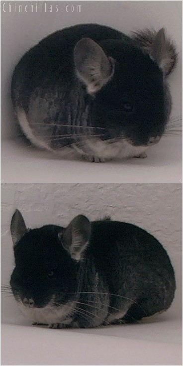 4086 Show Quality Black Velvet Male Chinchilla