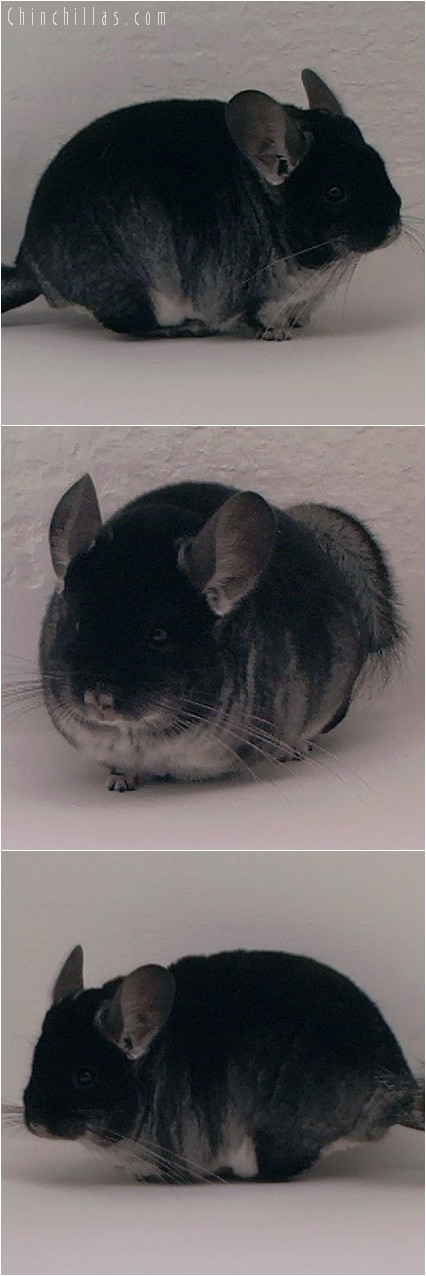 4150 Show Quality Blocky Black Velvet Male Chinchilla