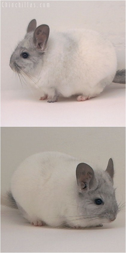 4159 Top Show Quality White Mosaic Male Chinchilla