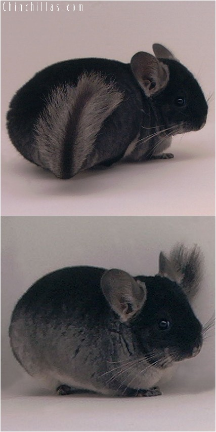 4011 Large Showable Black Velvet Female Chinchilla