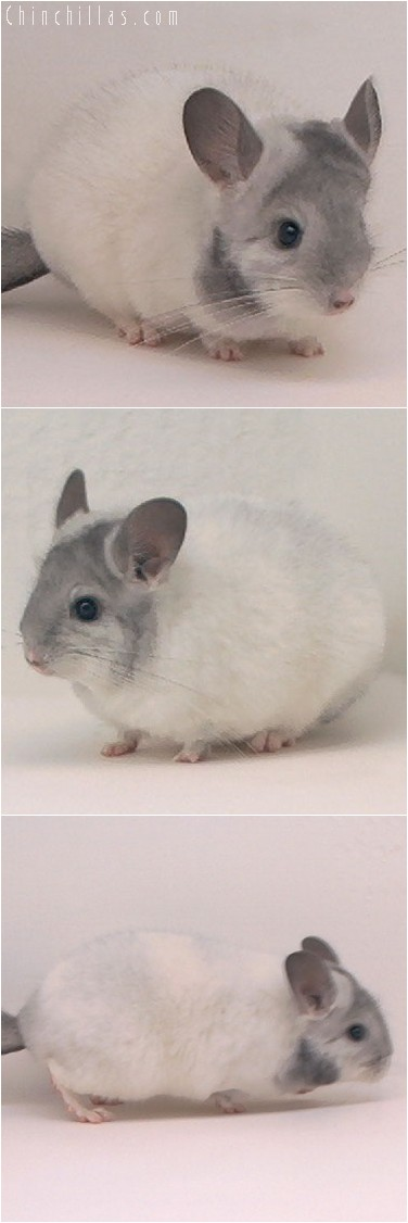 3134 Premium Production Quality Extreme Mosaic Female Chinchilla