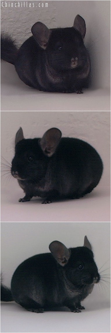 4155 Show Quality TOV Ebony Female Chinchilla