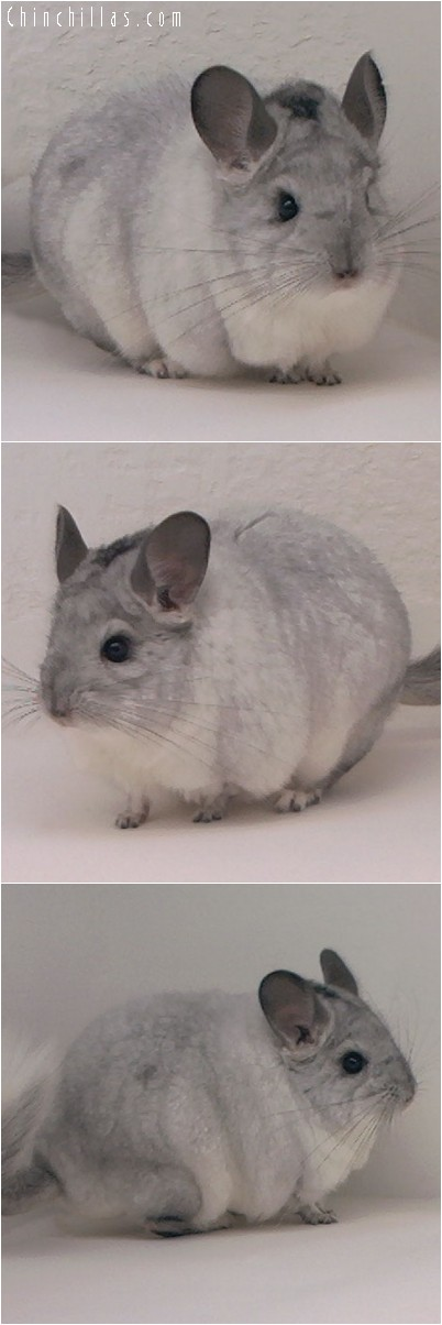 4170 Extra Large White Mosaic Male Chinchilla
