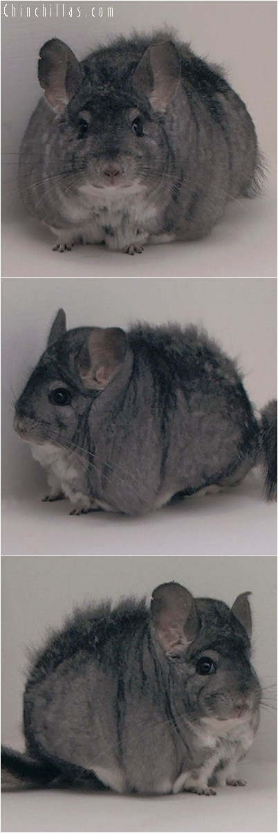 4173 Extra Large / Extra Blocky Standard Female Chinchilla