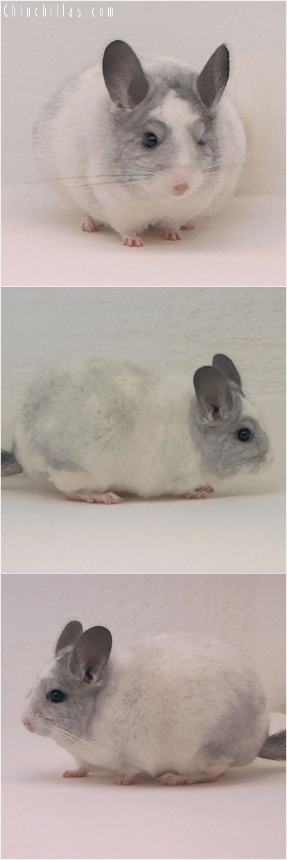 4113 Showable Splotchy White Mosaic Female Chinchilla