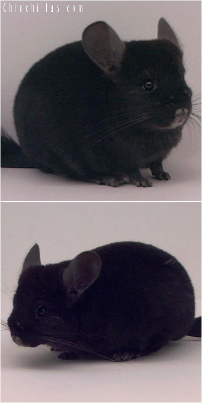 4164 Show Quality Ebony Female Chinchilla