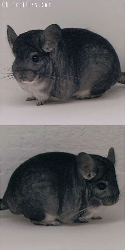 4167 Standard Female Chinchilla