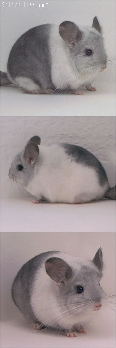 4175 Extremely Unique White Mosaic Female Chinchilla