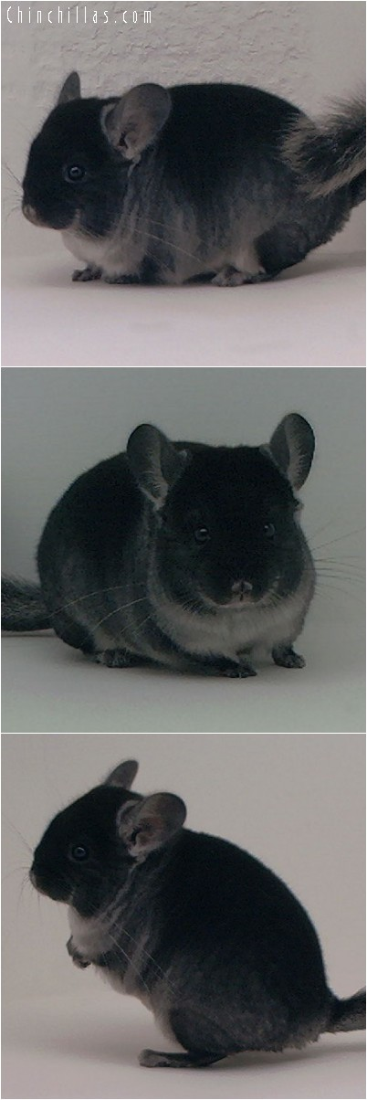 4179 Black Velvet ( Ebony & Sapphire Carrier ) Male Chinchilla