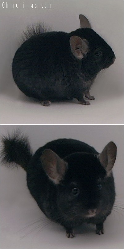 4182 Ebony ( Violet Carrier ) Male Chinchilla