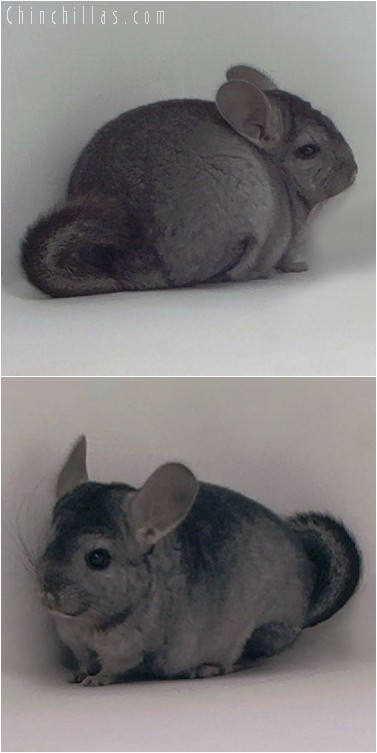 4068 Hetero Ebony Female Chinchilla