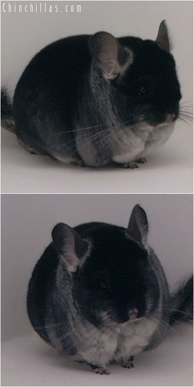 4187 Top Show Quality Black Velvet Female Chinchilla