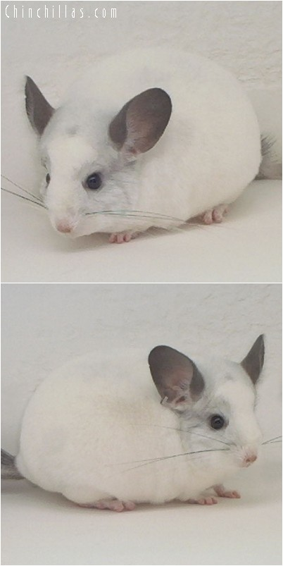 4028 ECBC Class Champion White Male Chinchilla