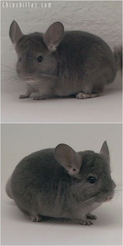 4186 Wrap-around Violet Male Chinchilla