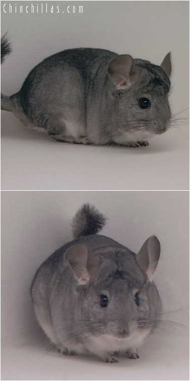 4185 Standard ( Sapphire Carrier ) Male Chinchilla