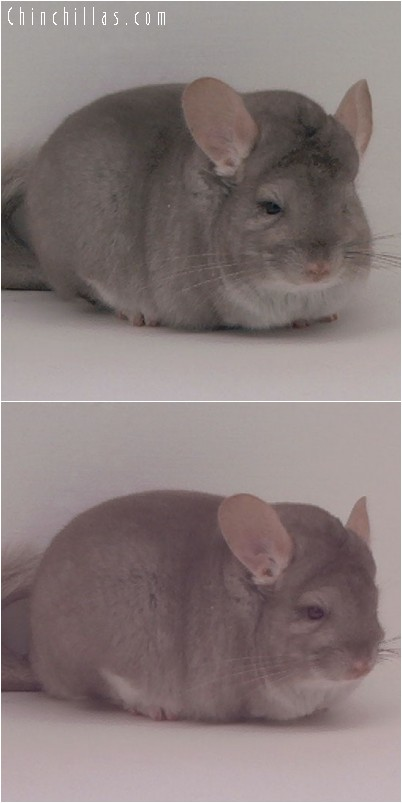 4177 Large Blocky Show Quality Beige Female Chinchilla