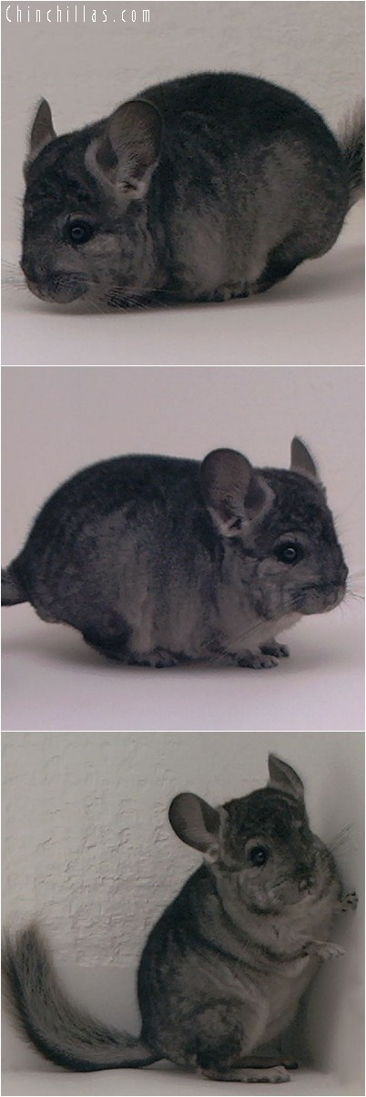 4168 Hetero Ebony ( Violet Carrier ) Male Chinchilla