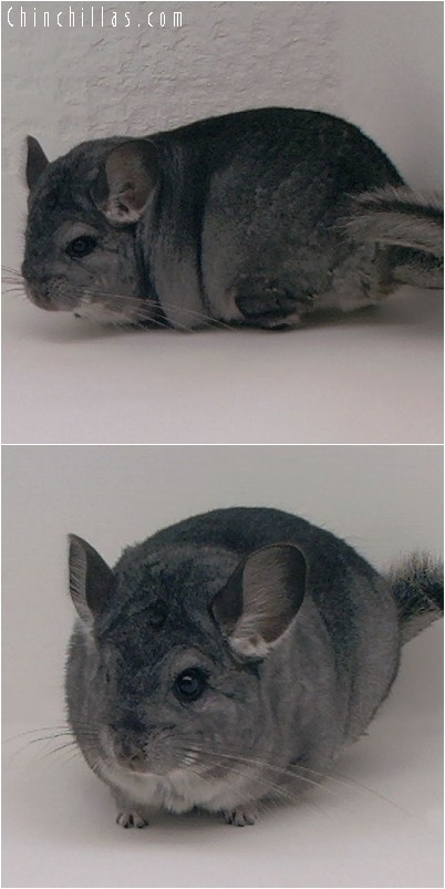 4194 Large Top Show Quality Standard Female Chinchilla