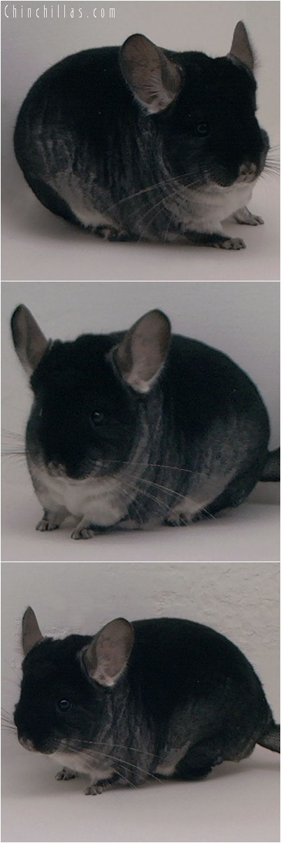 4207 Nat'l Reserve Color Champion Black Velvet Female Chinchilla