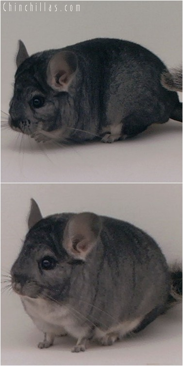 4195 Mini High Quality Standard Female Chinchilla