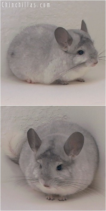 4178 Show Quality Silver Mosaic Male Chinchilla