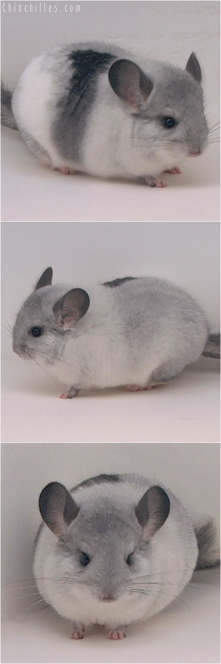 4205 Tri - tone White Mosaic Female Chinchilla
