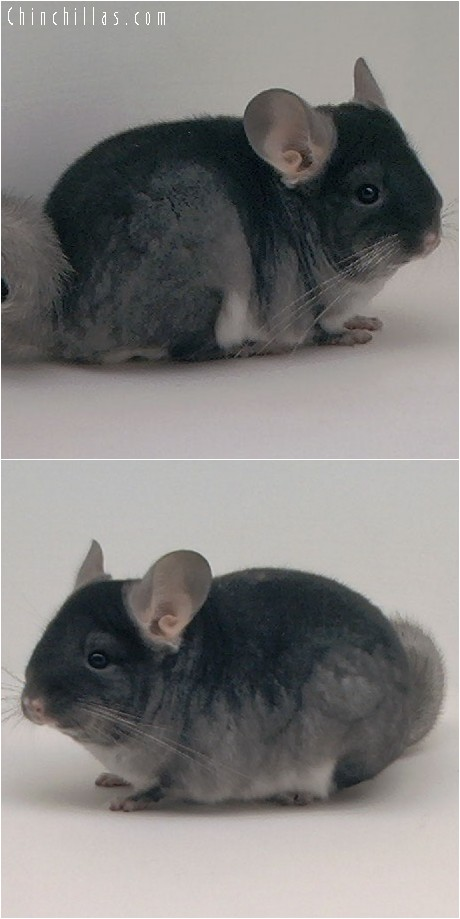4204 TOV Sapphire ( Ebony Carrier ) Female Chinchilla