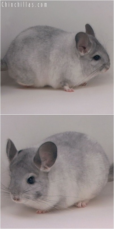 4206 White Mosaic ( Sapphire Carrier ) Female Chinchilla