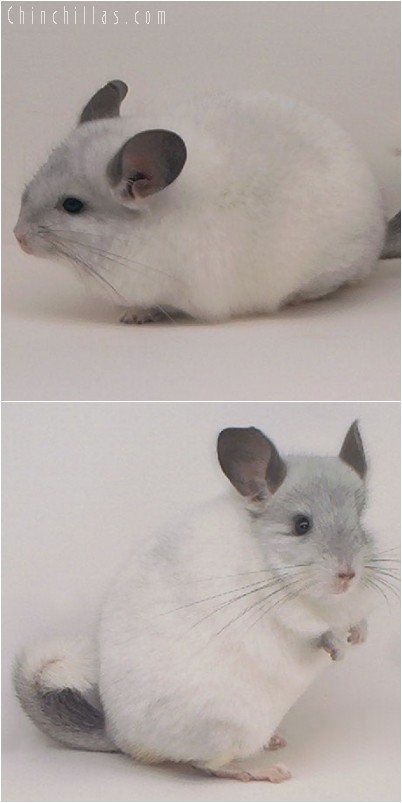 4201 Show Quality White Mosaic Female Chinchilla