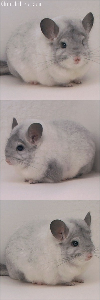 4211 Large Blocky Show Quality White Mosaic Male Chinchilla