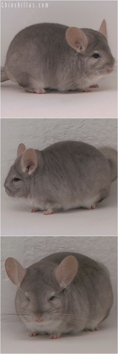 4213 Top Show Quality Beige Female Chinchilla
