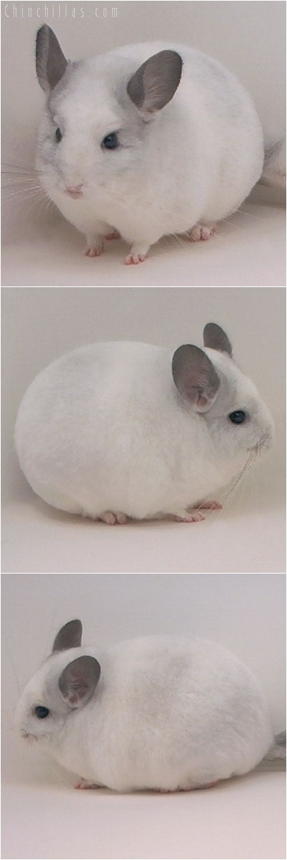 4217 Top Show Quality White Mosaic Male Chinchilla