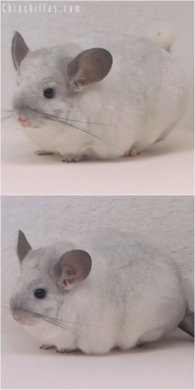 4210 Extra Large Show Quality White Mosaic Female Chinchilla