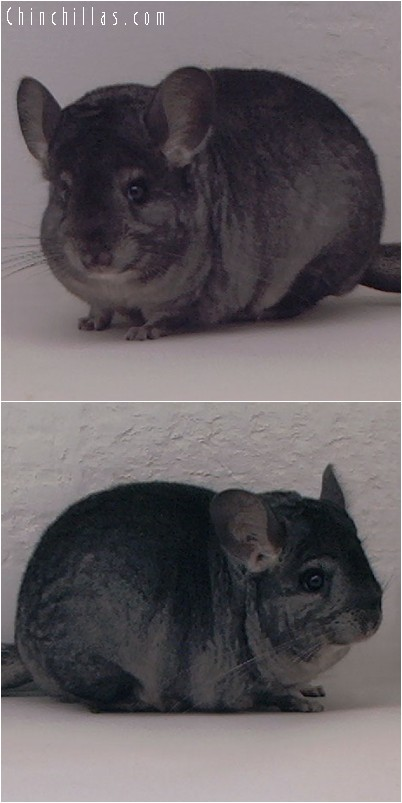 4214 Show Quality Ebony Female Chinchilla