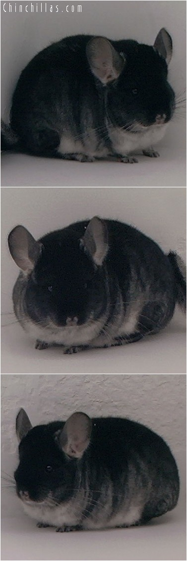 4149 Top Show Quality Black Velvet Female Chinchilla