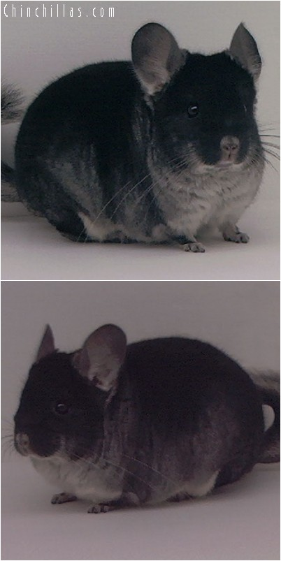 4144 Large Show Quality Black Velvet Male Chinchilla