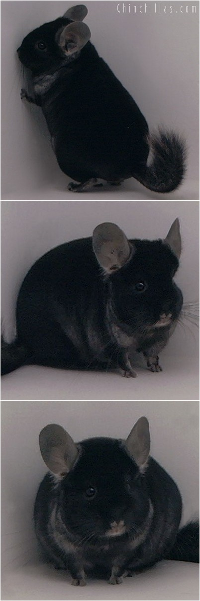 4220 Top Show Quality TOV Ebony Male Chinchilla