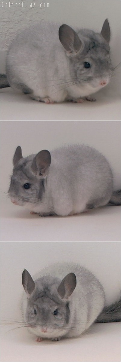 4221 Show Quality Silver Mosaic Female Chinchilla