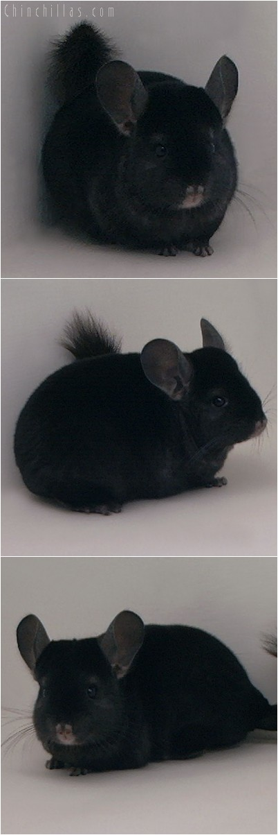 4223 Show Quality Ebony Female Chinchilla