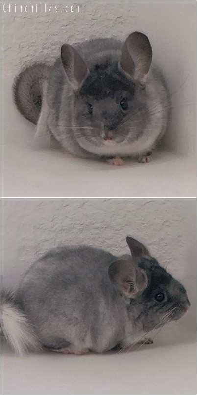 4226 TOV White Female Chinchilla