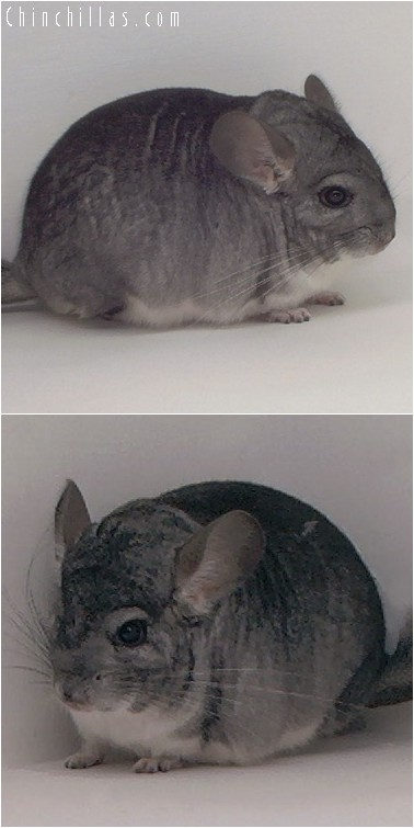 4199 Standard ( Sapphire Carrier ) Male Chinchilla