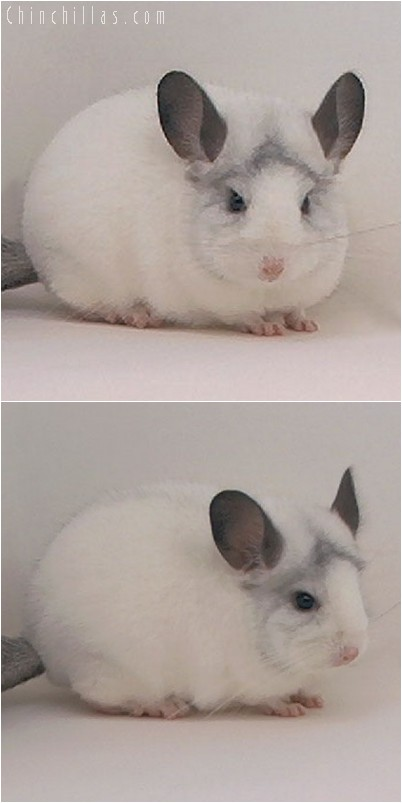 4234 Premium Production Quality White Mosaic Female Chinchilla