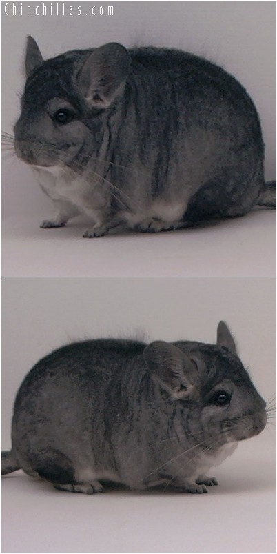 4212 Large Show Quality Standard Female Chinchilla