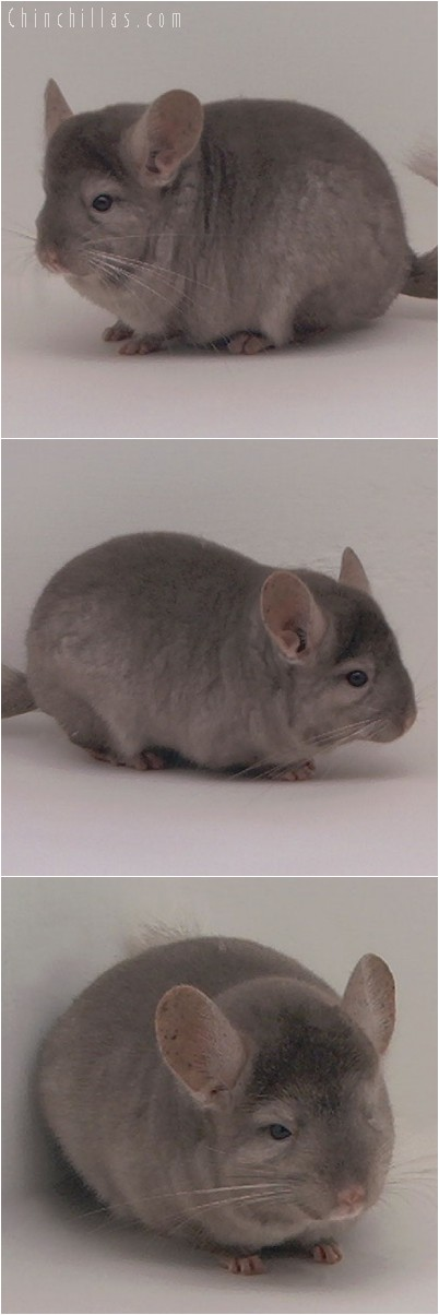 4238 Top Show Quality Tan Male Chinchilla