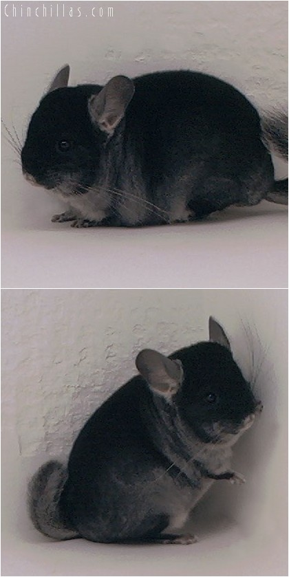 4019 Large Show Quality Black Velvet Female Chinchilla