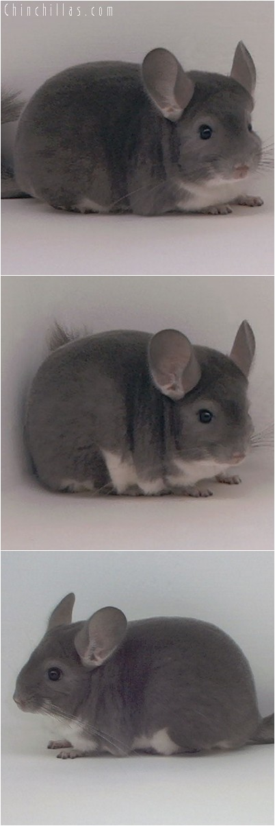 4243 Top Show Quality Violet Female Chinchilla