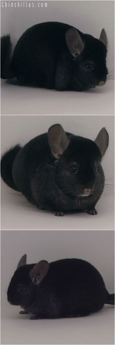 4244 Show Quality Ebony Female Chinchilla