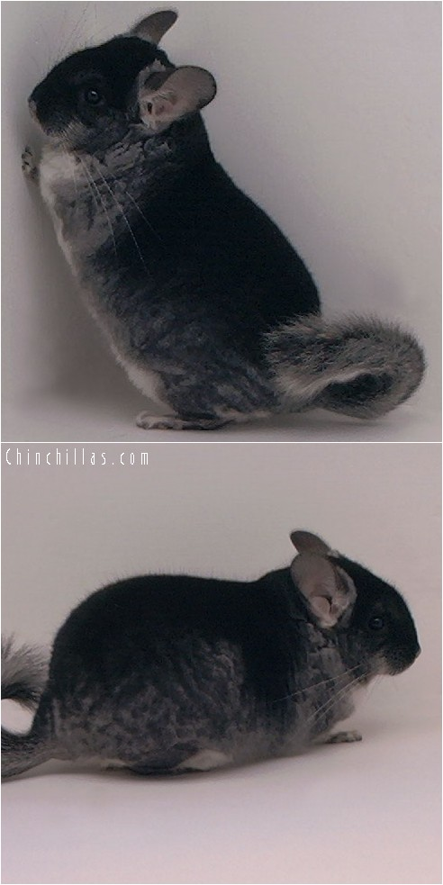 4107 Large Show Quality Black Velvet Male Chinchilla
